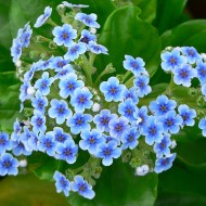 No.28 Chatham Island Forget-Me-Not
